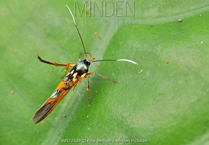 Moth (Stathmopodidae), wasp mimic, Mount Isarog National Park, Philippines
