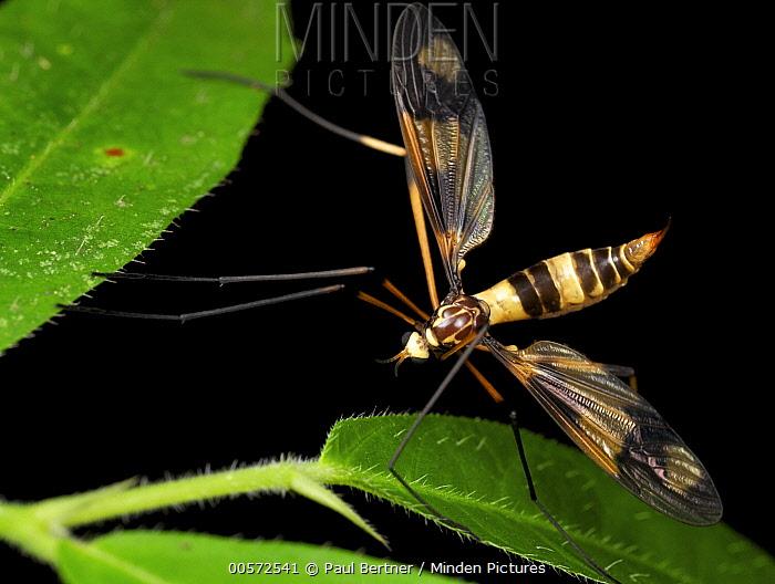Crane Fly (Tipulidae), wasp mimic, Danum Valley Conservation Area, Sabah, Borneo, Malaysia