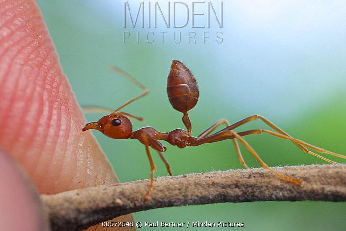 Green Tree Ant (Oecophylla smaragdina) biting person, Angkor Wat, Cambodia