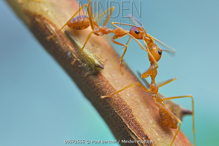 Green Tree Ant (Oecophylla smaragdina) pair exchanging food harvested from treehopper, Angkor Wat, Cambodia