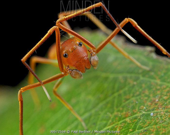 Ant-mimic Crab Spider (Amyciaea lineatipes), ant mimic, Danum Valley Conservation Area, Sabah, Borneo, Malaysia