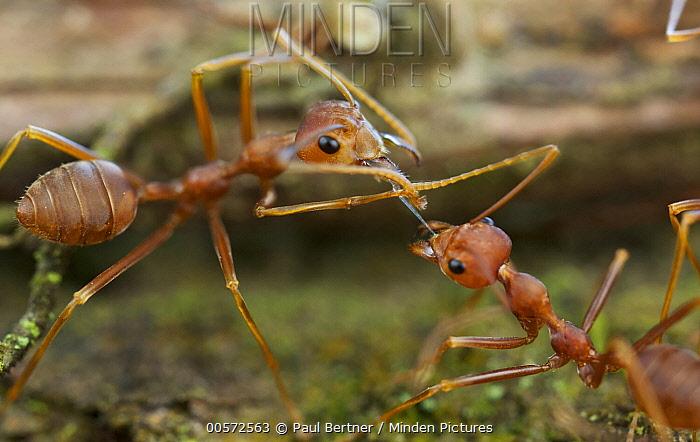 Green Tree Ant (Oecophylla smaragdina) pair exchanging food, Cat Tien National Park, Vietnam