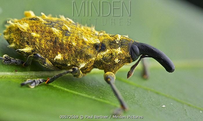 Weevil (Lixus sp) with yellow wax, Antananarivo, Madagascar