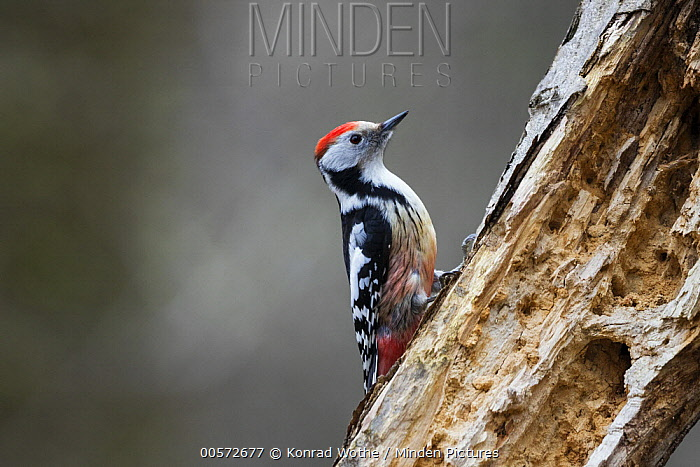 Middle Spotted Woodpecker (Dendrocopos medius), Bavaria, Germany