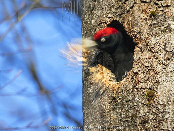 Black Woodpecker (Dryocopus martius) male excavating nest cavity, Bavaria, Germany