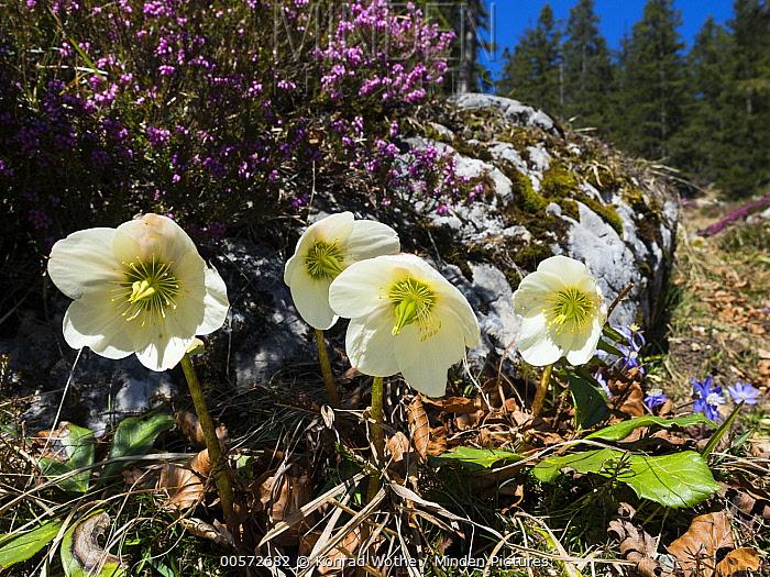 Christmas-rose (Helleborus niger) flowers, Alps, Austria
