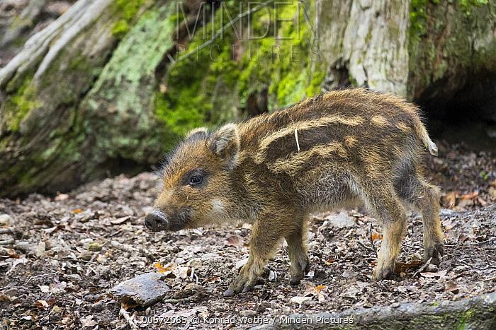 Wild Boar (Sus scrofa) piglet, Bavaria, Germany