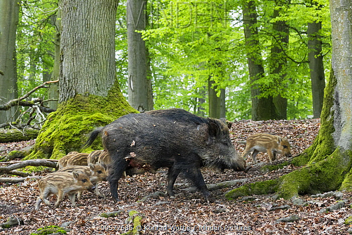 Wild Boar (Sus scrofa) mother with piglets in forest, Bavaria, Germany