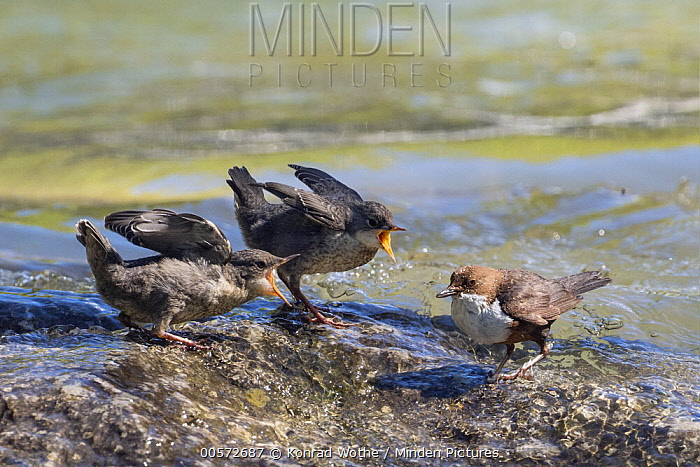 White-throated Dipper (Cinclus cinclus) parent with begging fledglings, Alps, Bavaria, Germany