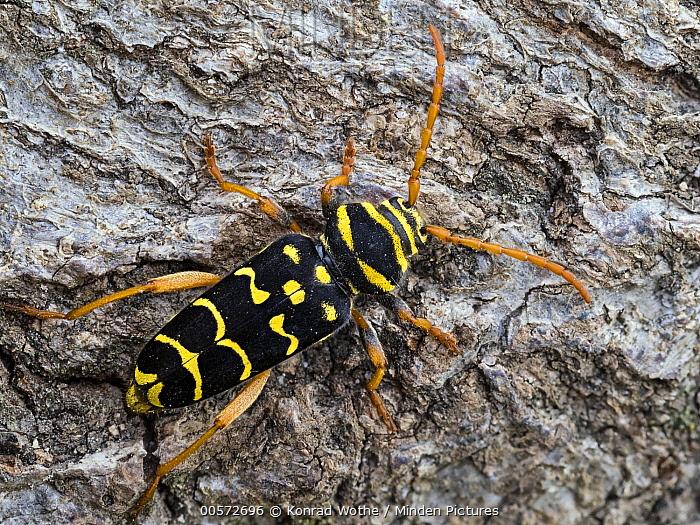 Longhorn Beetle (Plagionotus arcuatus) male, Upper Bavaria, Germany