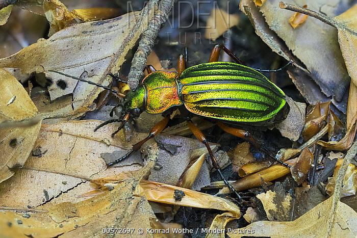 Golden Ground Beetle (Carabus auronitens), Upper Bavaria, Germany