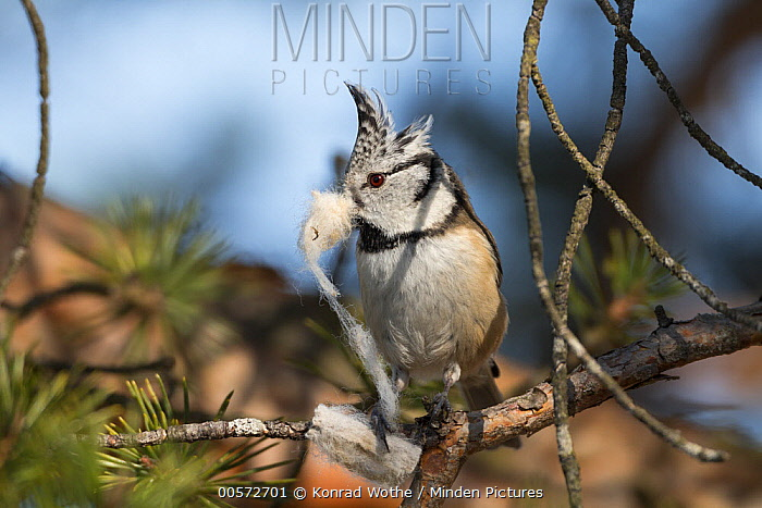 Crested Tit (Lophophanes cristatus) carrying nesting material, Bavaria, Germany