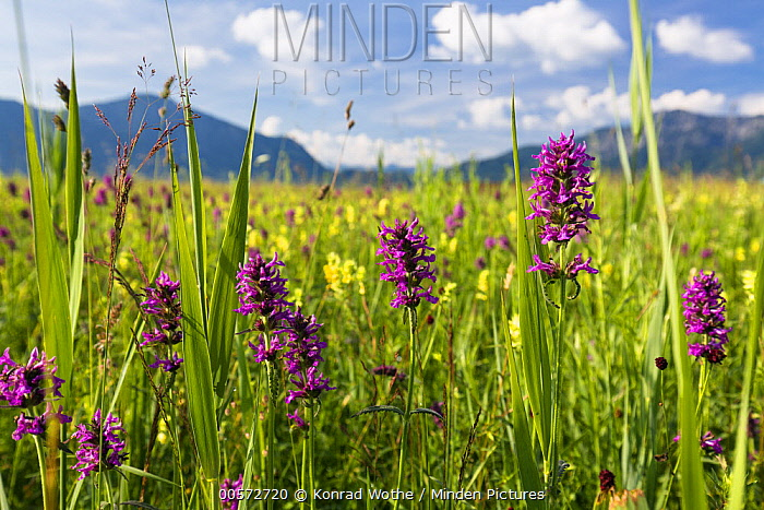 Purple Betony (Stachys officinalis) flowers in meadow, Upper Bavaria, Germany