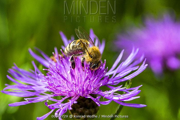 Honey Bee (Apis mellifera) on flower, Bavaria, Germany