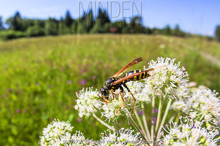 European Paper Wasp (Polistes dominulus) in meadow, Bavaria, Germany