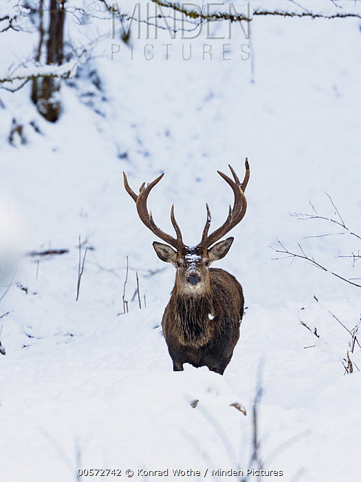 Red Deer (Cervus elaphus) stag in winter, Upper Bavaria, Germany