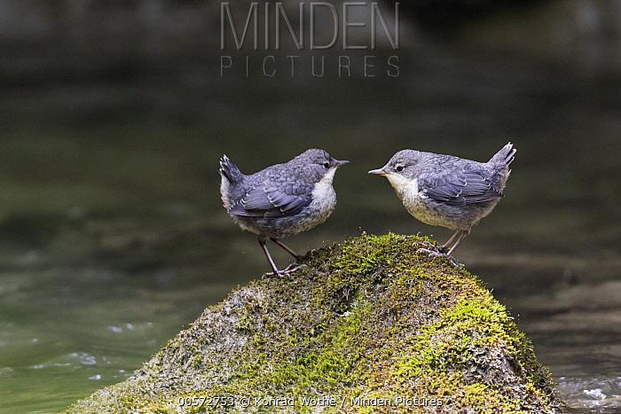White-throated Dipper (Cinclus cinclus) sub-adults, Alps, Bavaria, Germany