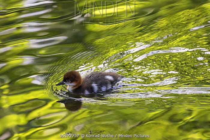 Common Merganser (Mergus merganser) chick swimming, Upper Bavaria, Germany
