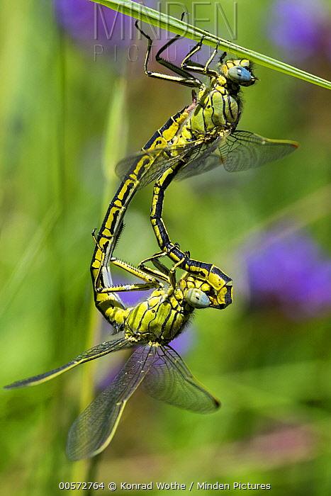 Yellow-legged Clubtail (Gomphus pulchellus) dragonflies mating, Upper Bavaria, Germany