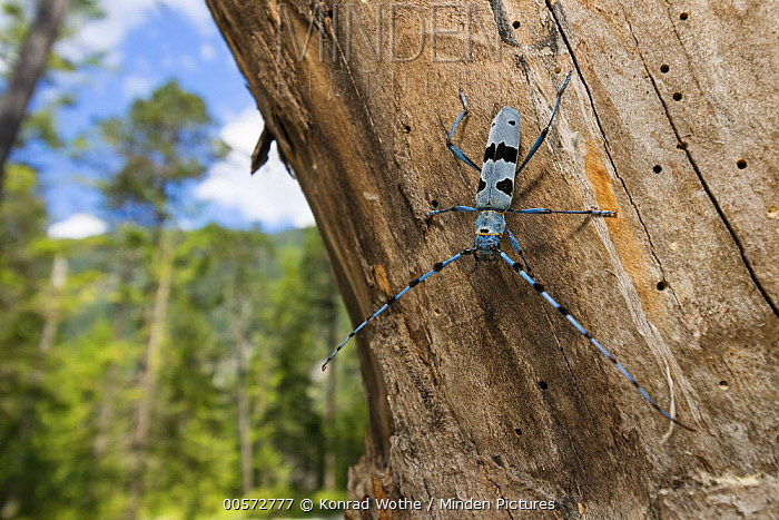 Rosalia Longicorn (Rosalia alpina) beetle in forest, Alps, Upper Bavaria, Germany