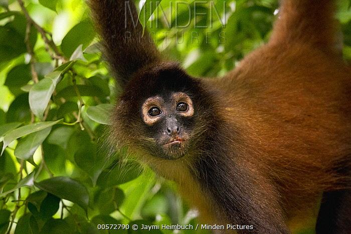 Black-handed Spider Monkey (Ateles geoffroyi) in tree, Osa Peninsula, Costa Rica