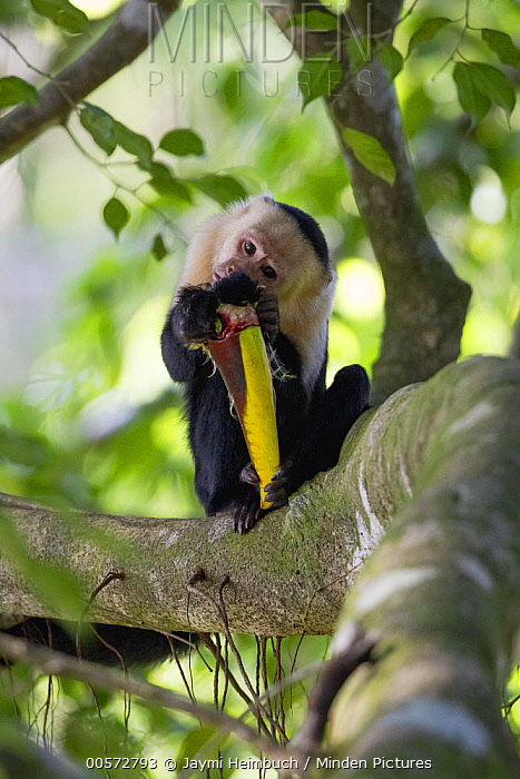 White-faced Capuchin (Cebus capucinus) feeding on Chestnut-mandibled Toucan (Ramphastos swainsonii) prey, Osa Peninsula, Costa Rica