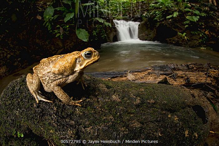Cane Toad (Bufo marinus) near waterfall, Osa Peninsula, Costa Rica