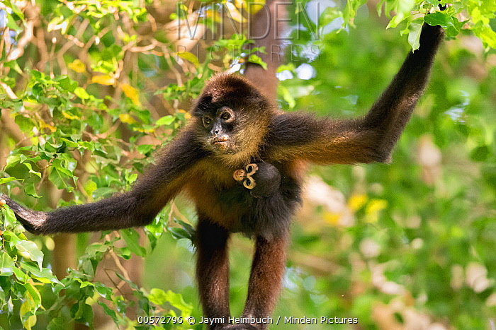 Black-handed Spider Monkey (Ateles geoffroyi) mother and young hanging in tree, Osa Peninsula, Costa Rica