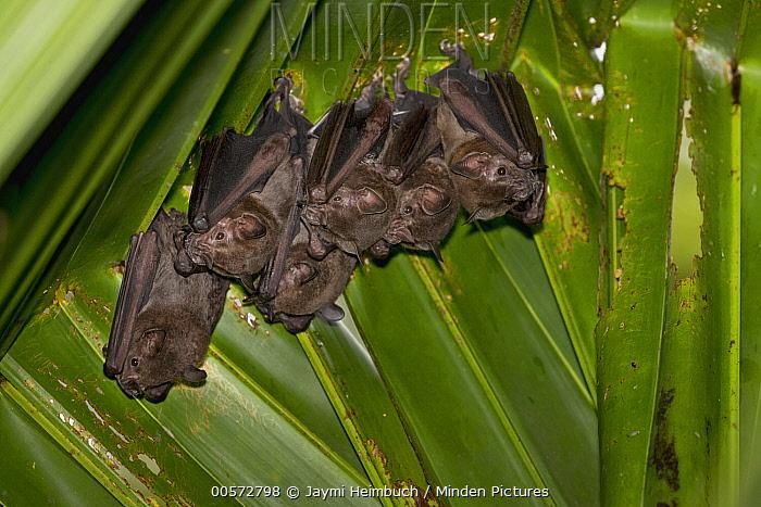 Silky Short-tailed Bat (Carollia brevicauda) group roosting, Osa Peninsula, Costa Rica