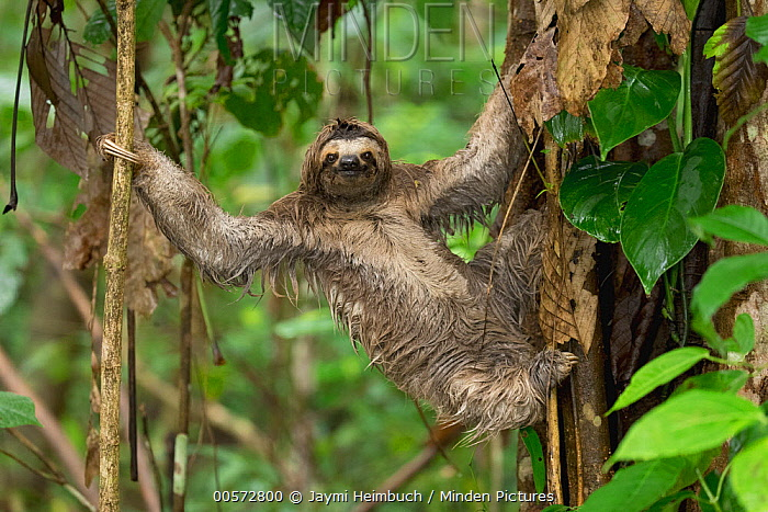 Brown-throated Three-toed Sloth (Bradypus variegatus) climbing down tree to defacate, Osa Peninsula, Costa Rica