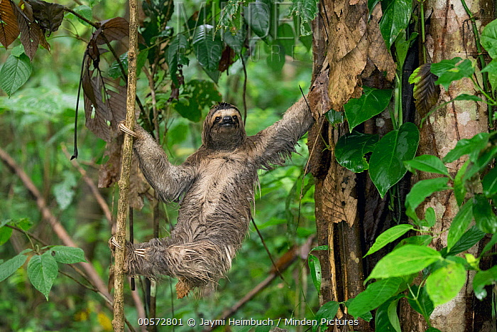 Brown-throated Three-toed Sloth (Bradypus variegatus) climbing down tree to defacate, Osa Peninsula, Costa Rica