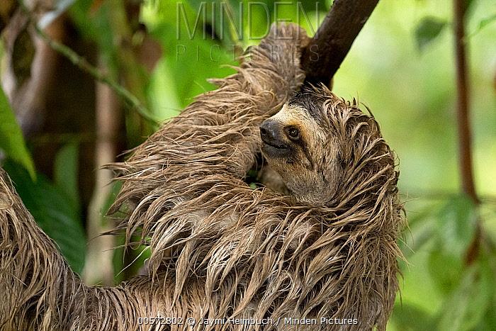 Brown-throated Three-toed Sloth (Bradypus variegatus) in tree, Osa Peninsula, Costa Rica
