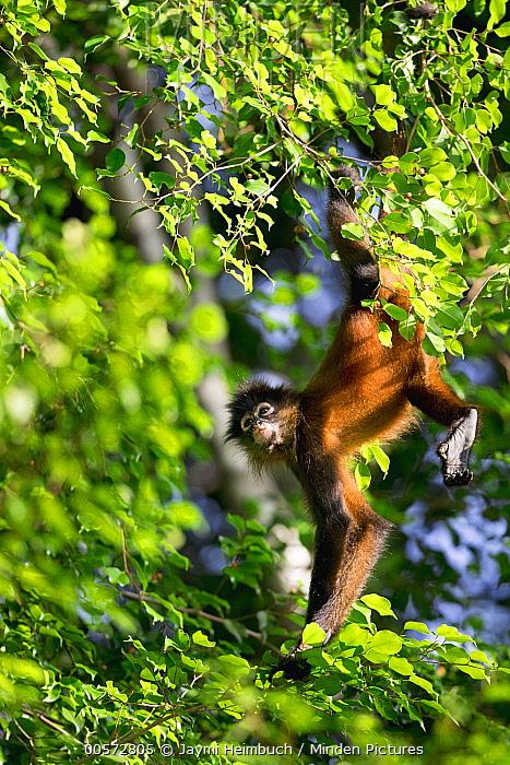 Black-handed Spider Monkey (Ateles geoffroyi) juvenile hanging in tree, Osa Peninsula, Costa Rica