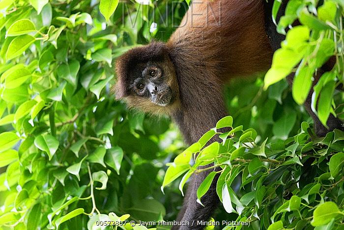 Black-handed Spider Monkey (Ateles geoffroyi) hanging in tree, Osa Peninsula, Costa Rica