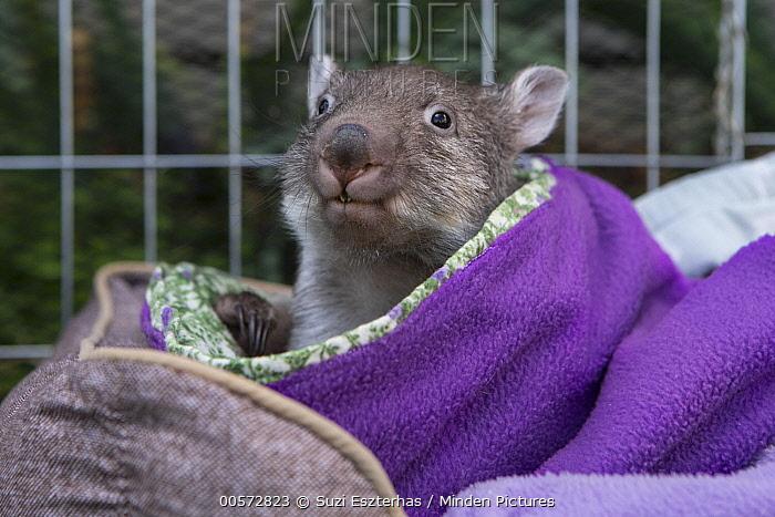 Common Wombat (Vombatus ursinus) five month old orphaned joey, Bonorong Wildlife Sanctuary, Tasmania, Australia