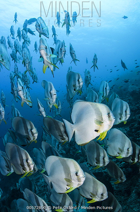 Longfin Batfish (Platax teira) school, Raja Ampat Islands, Indonesia