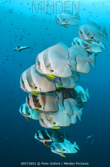 Longfin Batfish (Platax teira) school, Raja Ampat Islands, Indonesia