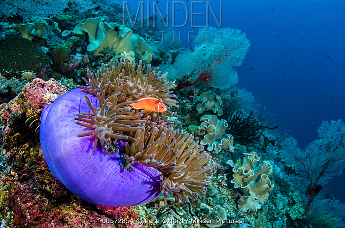 Pink Anemonefish (Amphiprion perideraion) and Magnificent Sea Anemone (Heteractis magnifica) in coral reef, Raja Ampat Islands, Indonesia