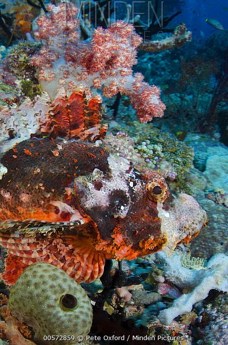 Tassled Scorpionfish (Scorpaenopsis oxycephala), Raja Ampat Islands, Indonesia