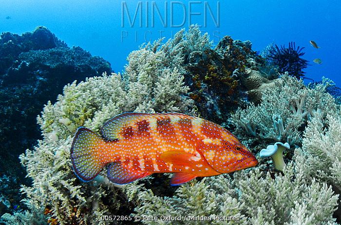 Coral Grouper (Cephalopholis miniata) in coral reef, Raja Ampat Islands, Indonesia