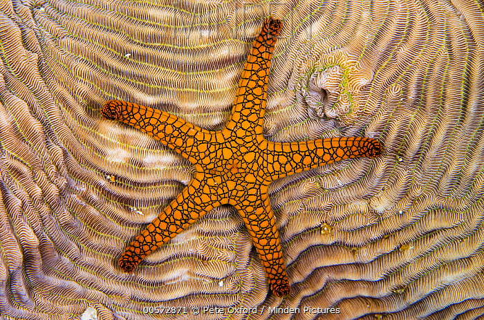 Indian Sea Star (Fromia indica) on coral, Raja Ampat Islands, Indonesia