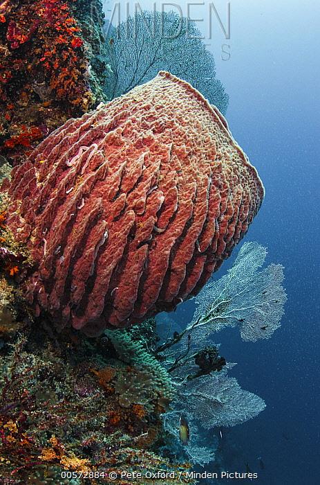 Giant Barrel Sponge (Xestospongia sp) and sea fans, Raja Ampat Islands, Indonesia