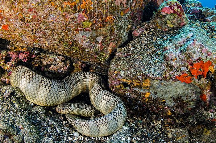 Broad-banded Blue Sea Krait (Laticauda semifasciata), Gili Air, Banda Sea, Indonesia