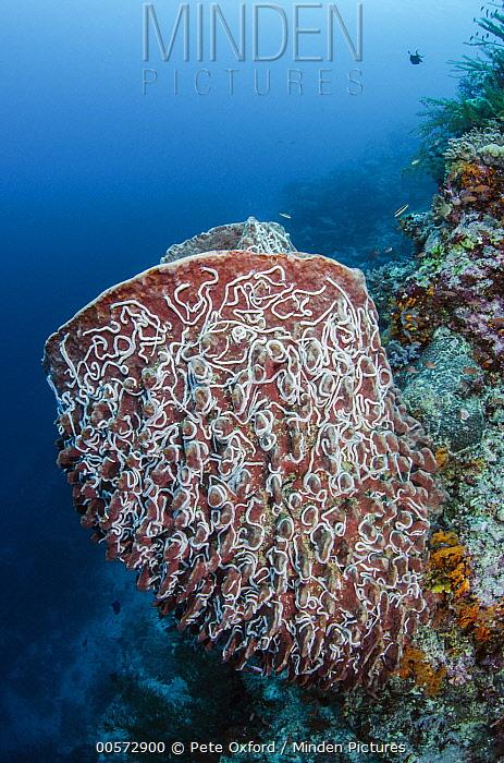 Sea Cucumber (Synaptula lamperti) group on Giant Barrel Sponge (Xestospongia sp), Raja Ampat Islands, Indonesia