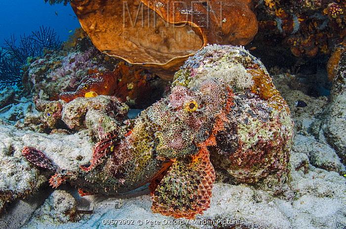 Scorpionfish (Scorpaenopsis sp) camouflaged in reef, Raja Ampat Islands, Indonesia
