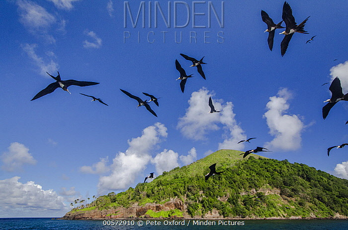 Christmas Island Frigatebird (Fregata andrewsi) group flying near island, Gili Air, Banda Sea, Indonesia