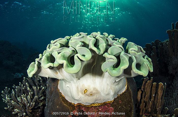 Soft Coral (Sinularia sp), Banda Sea, Indonesia