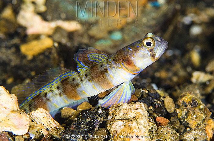 Arcfin Shrimpgoby (Amblyeleotris arcupinna), Banda Sea, Indonesia