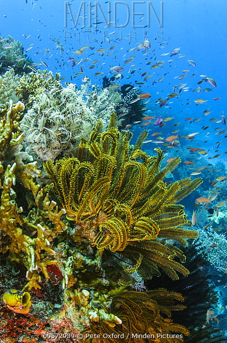 Feather Star (Oxycomanthus bennetti) in coral reef, Banda Sea, Indonesia