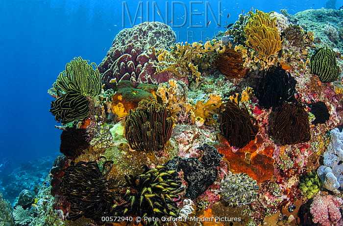 Feather Star (Oxycomanthus bennetti) group in coral reef, Banda Sea, Indonesia